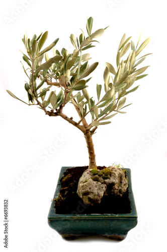 Olivo bonsai di roberto fasoli foto stock royalty free for Olivo bonsai prezzo