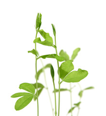 growing plants from seeds, sweet pea plantlets, first leavew ope