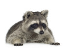 raccoon (9 months) -  Procyon lotor poster