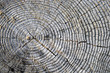 Tree Rings - Background Texture