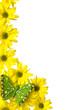 Yellow marguerites