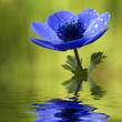 Blue Anemone Flower with Waterdrops