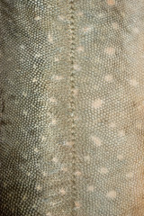 Fish scales texture #3