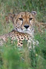 Cheetah # 1