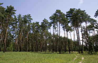 pine-wood