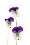viola tricolor - 6779078