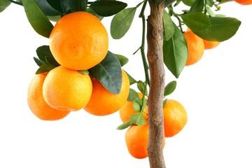 Small mandarin tree isolated on white