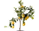 Lemon tree in the pot isolated
