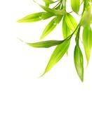 Fototapety Bamboo leaves isolated on white background