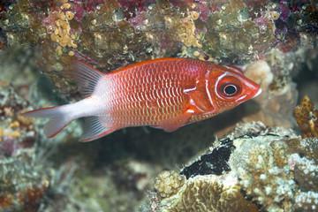 Tropical fish Squirrelfish