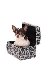 chihuahua in the case