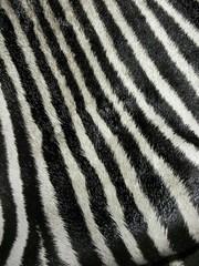 Real Zebra Fur Closeup