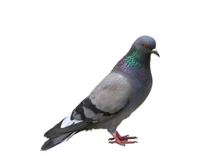 The grey pigeon