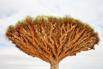 Dragon tree - Dracaena cinnabari