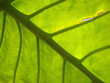 giant jungle leaf backlit