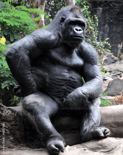 Poster Aap Gorilla