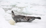 Happy mother harp seal cow and newborn pup on ice poster