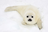 Baby harp seal pup on ice of the White Sea  poster