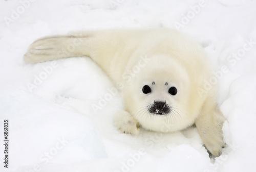 Leinwandbild Motiv Baby harp seal pup on ice of the White Sea