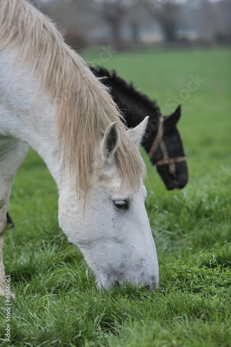 percherons broutant