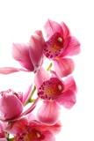 dark pink orchid - 6866429