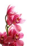 dark pink orchid - 6866434