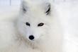 Quadro Arctic Fox