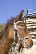Pack donkey in village Leshten