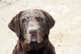 labrador retriever covered in sand poster