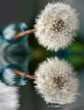 Dandelion in Vase Reflecting in Water