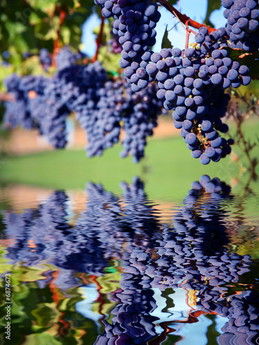 Ripe Merlot Grapes in Vineyard