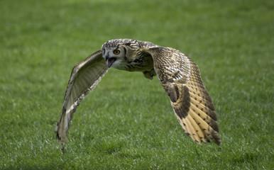 rock owl flying
