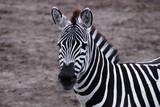 Gazing zebra poster