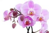 Fototapeta fiołek - fioletowy - Kwiat