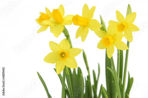 Fototapeten Narzisse Bunch of yellow spring daffodils