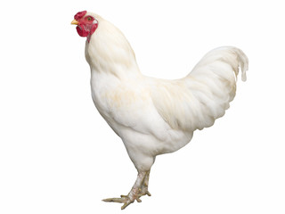 Proud white cock isolated on white