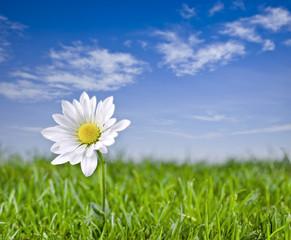 Solitary daisy.