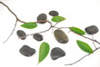 branches et feuilles verte sur des cailloux