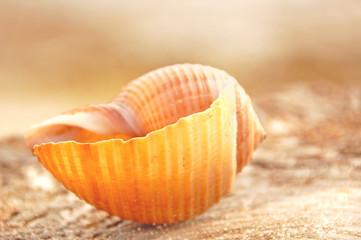 Pretty Seashell