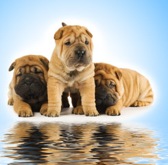 Group of adorable sharpei puppies near the water