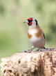 goldfinch on the trunk