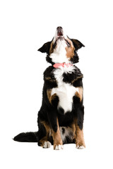A dog sitting up and barking on a white background