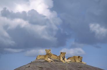 Africa-Lions on a kopje