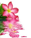 Fototapety reflet de la rose du désert - fleur exotique