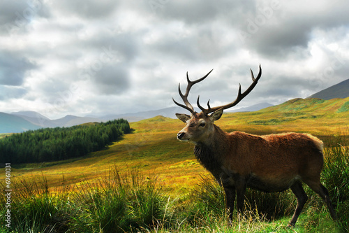 Scottish Stag