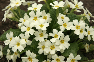 Primrose in the spring close up