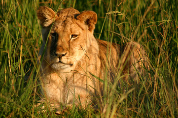 African female lion resting in the morning sun