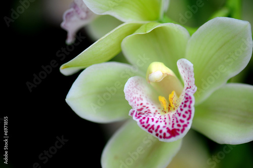 Green orchid with red spots