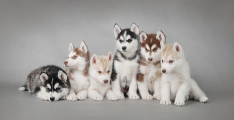 Siberian Husky dog puppy