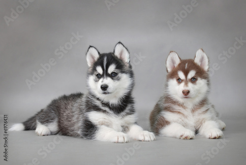 Siberian Husky dog puppies